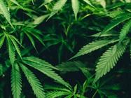大麻植物的样品制备
