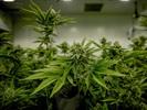 大麻和微生物:在测试中安全地使用二氧化碳培养箱