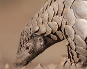 Science Debunks Cultural Medicine Myth: Pangolin Scales are Useless