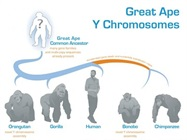 Evolution of the Y Chromosome Deciphered